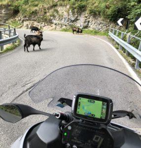 De TomTom Rider 550 weet onderweg bijna alles, maar deze loslopende berggeiten signaleerde hij nog niet.